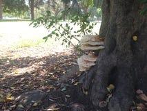Cogumelos que crescem em um tronco de árvore vivo Foto de Stock