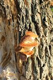 Cogumelos que crescem na árvore Fotos de Stock