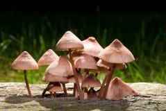 Cogumelos que crescem na madeira de deterioração fotos de stock