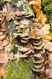 Cogumelos que crescem no tronco de árvore da faia imagem de stock royalty free