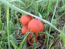 Cogumelos que crescem nos gramados Grupo de fungos pequenos na grama verde Imagens de Stock Royalty Free