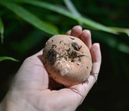 Cogumelos selvagens à disposição Fotografia de Stock