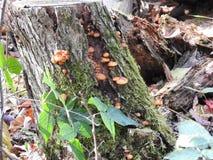 Cogumelos selvagens Imagens de Stock Royalty Free