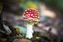 Cogumelos selvagens comestíveis Fotos de Stock
