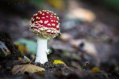 Cogumelos selvagens comestíveis Imagem de Stock