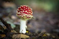Cogumelos selvagens comestíveis Imagem de Stock Royalty Free