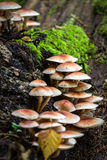 Cogumelos selvagens comestíveis Fotografia de Stock