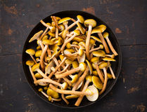 Cogumelos selvagens comestíveis amarelos crus dos cogumelos em uma grande tabela de madeira de fritura de Pan On An Old Black Imagens de Stock Royalty Free
