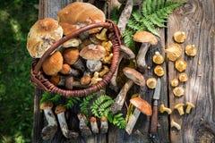 Cogumelos selvagens comestíveis em linha reta da floresta Foto de Stock