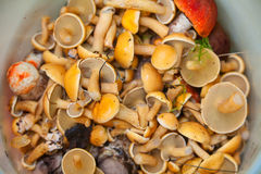 Cogumelos selvagens comestíveis na cesta na floresta Foto de Stock Royalty Free