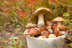 Cogumelos selvagens comestíveis na cesta na floresta Fotos de Stock