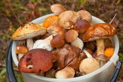 Cogumelos selvagens comestíveis na cesta na floresta Imagens de Stock