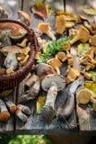 Cogumelos selvagens comestíveis na tabela rústica de madeira velha Imagens de Stock