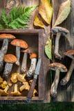 Cogumelos selvagens completamente do sabor e aromático comestíveis Imagens de Stock Royalty Free