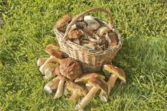 Cogumelos selvagens da cesta Fotografia de Stock
