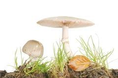 Cogumelos selvagens na grama Imagens de Stock