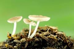 Cogumelos selvagens na terra Fotos de Stock Royalty Free