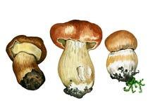 Cogumelos selvagens Pintura tirada mão da aquarela ilustração do vetor