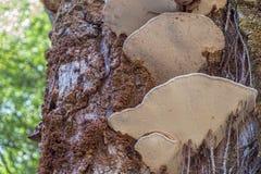 Cogumelos selvagens prendidos em uma árvore Imagem de Stock