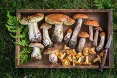 Cogumelos selvagens saborosos com a samambaia verde da floresta Fotografia de Stock Royalty Free