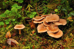 Cogumelos selvagens (squamulosa do Clitocybe) Imagem de Stock Royalty Free