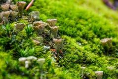 Cogumelos tóxicos pequenos no close up do musgo Imagens de Stock