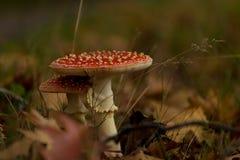 Cogumelos tampados vermelhos fotografia de stock royalty free