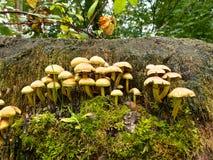 Cogumelos venenosos Fotografia de Stock