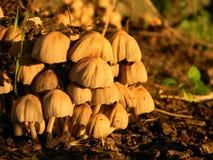 Cogumelos venenosos Imagem de Stock