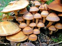 Cogumelos venenosos Fotos de Stock