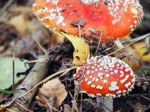 Cogumelos venenosos manchados nas madeiras Fotos de Stock