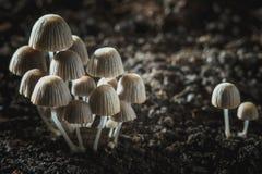 Cogumelos venenosos pequenos dos cogumelos fotografia de stock