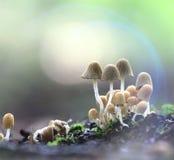 Cogumelos venenosos pequenos dos cogumelos inoperantemente perigosos Imagens de Stock