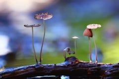 Cogumelos venenosos pequenos dos cogumelos macro Fotografia de Stock Royalty Free