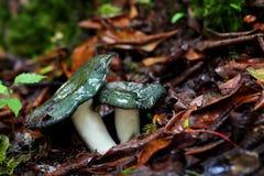 Cogumelos verdes Imagem de Stock