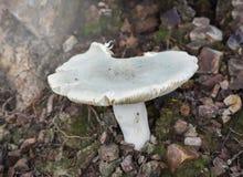 Cogumelos verdes fotografia de stock royalty free
