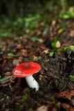 Cogumelos vermelhos Fotografia de Stock