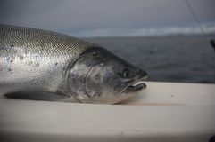 Coho Salmon. A coho salmon taken from the North Pacific Ocean stock photos