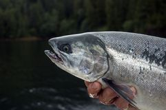 Coho Salmon Stock Photography