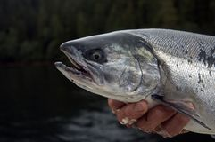 Coho Salmon. A coho salmon taken from the North Pacific Ocean royalty free stock photography