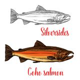Coho salmon fish sketch of marine animal design. Coho salmon fish isolated sketch of marine animal in spawning phase. Pacific salmon with bright skin and hooked vector illustration