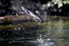 Coho Salmon jumping out of the Pacific Ocean. Pictured is a salmon swimming upstream by leaping out of the water. The salmon run is the time when salmon which Royalty Free Stock Photography