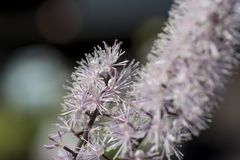 Cohosh negro, belleza natural de la planta del cimicifuga fotografía de archivo