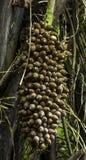Cohune棕榈种子群 库存图片