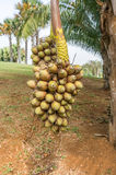 Cohune Palm or Orbignya Cohune Stock Images
