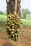 Cohune Palm or Orbignya Cohune Royalty Free Stock Image