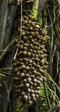 Cohune Palm Seed Cluster Stock Images