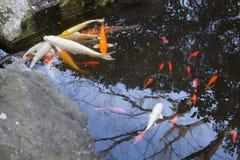 Coi鱼在日本庭院里 免版税库存照片