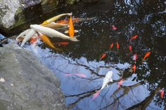 Coi fish in a japanese garden royalty free stock photo