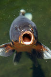 Coi Fish Open Mouth. Coi fish with mouth open ready to be fed Royalty Free Stock Photos